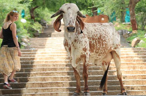 indijska krava